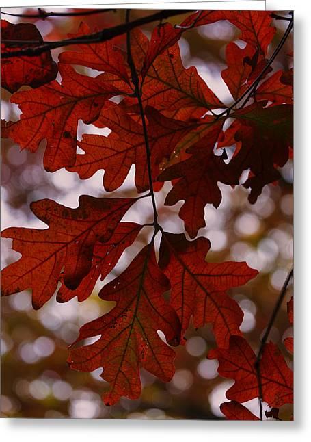 Foliage Photographs Greeting Cards - Crimson Oak Greeting Card by Rick Berk