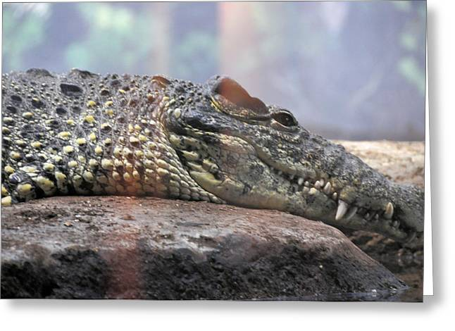 Cold Blooded Greeting Cards - Crocodile Smile Greeting Card by Jan Amiss Photography