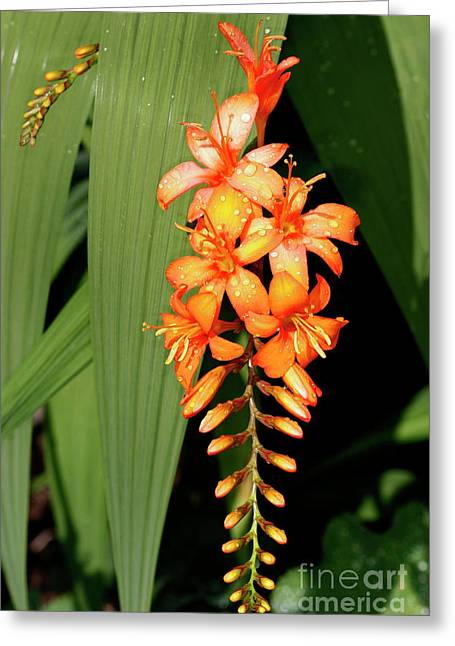Monocotyledon Greeting Cards - Crocosmia Inflorescence Greeting Card by Dr Keith Wheeler