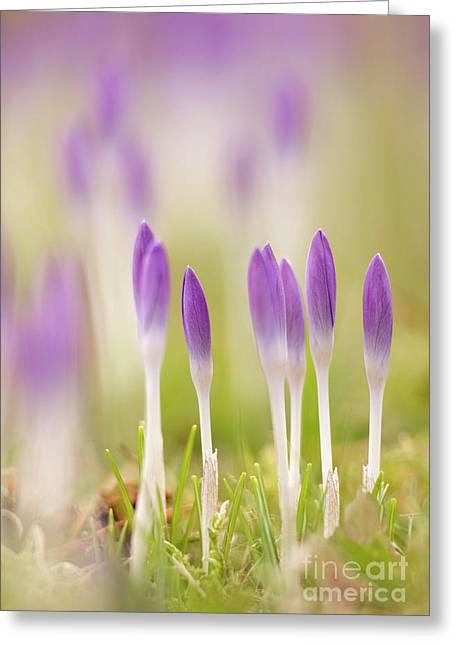 Crocus Flowers (crocus Tommasinianus) Greeting Card by Adrian Bicker