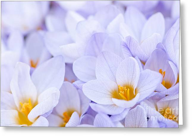 Flowering Greeting Cards - Crocus flowers Greeting Card by Elena Elisseeva