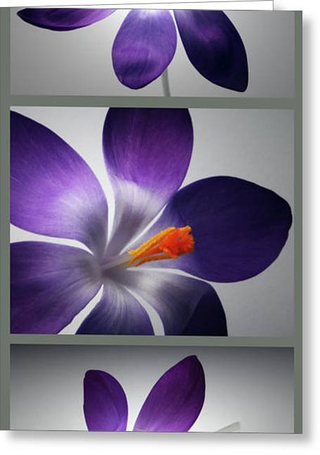 Crocus Flowers Greeting Cards - Crocus Triptych. Greeting Card by Terence Davis