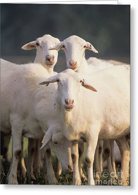Croix Greeting Cards - Croix Sheep Greeting Card by Science Source
