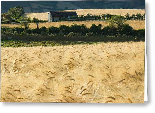 Colombia Greeting Cards - Crops of wheat. Near the town of Guaitaria. Colombia Greeting Card by Eric Bauer