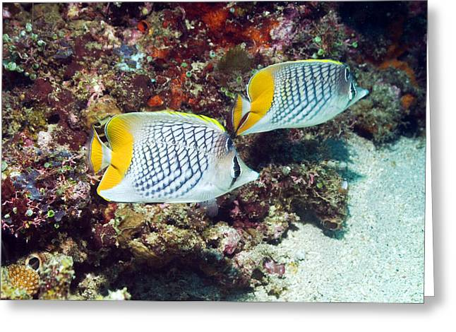 Crosshatching Greeting Cards - Cross-hatch Butterflyfish Greeting Card by Georgette Douwma
