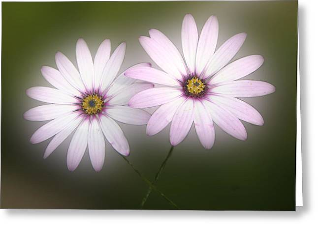 Roberto Alamino Greeting Cards - Crossing Daisies Greeting Card by Roberto Alamino