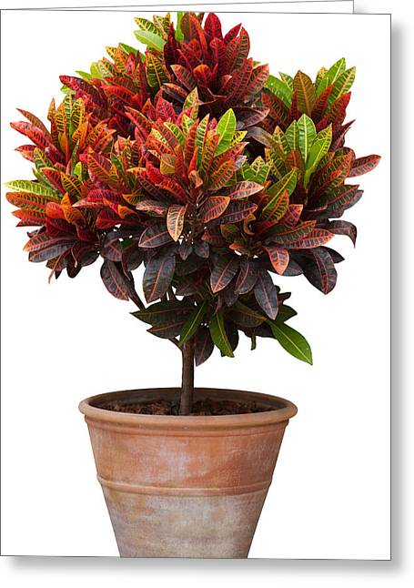 Weeping Photographs Greeting Cards - Croton Tree In Flowerpot Greeting Card by Atiketta Sangasaeng