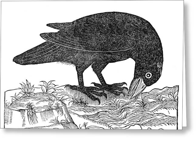 Feeding Birds Greeting Cards - Crow, Historical Artwork Greeting Card by Middle Temple Library