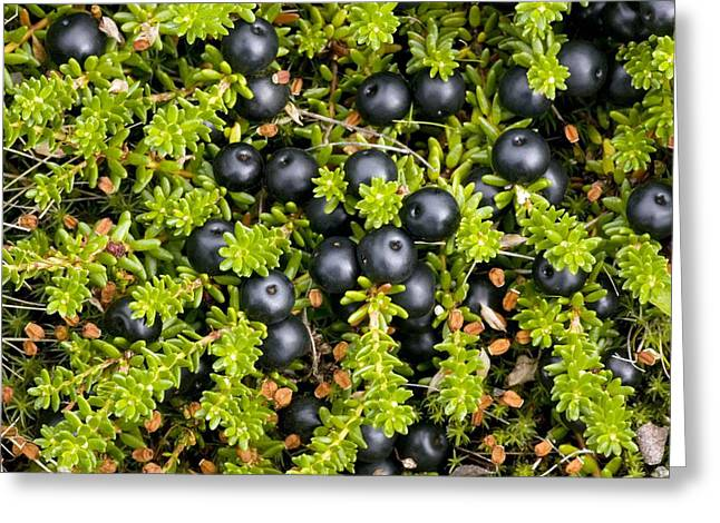 E Black Greeting Cards - Crowberry Fruit (empetrum Hermaphroditum) Greeting Card by Bob Gibbons