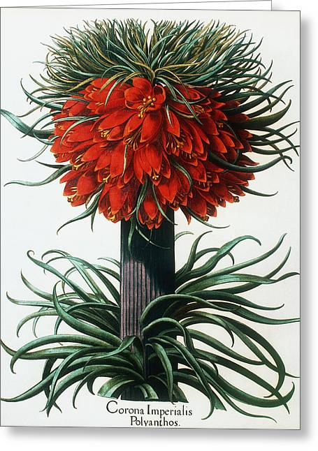 Monocotyledon Greeting Cards - Crown Imperial Plant Greeting Card by Georgette Douwma
