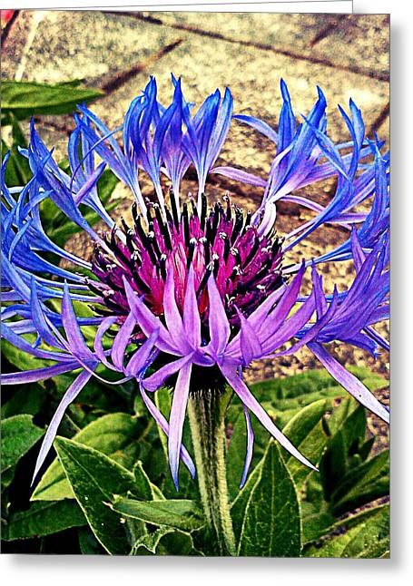 Centaurea Montana Greeting Cards - Crowned Beauty Greeting Card by Kevin D Davis