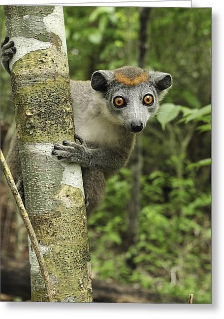 Reserve Greeting Cards - Crowned Lemur Eulemur Coronatus Female Greeting Card by Thomas Marent