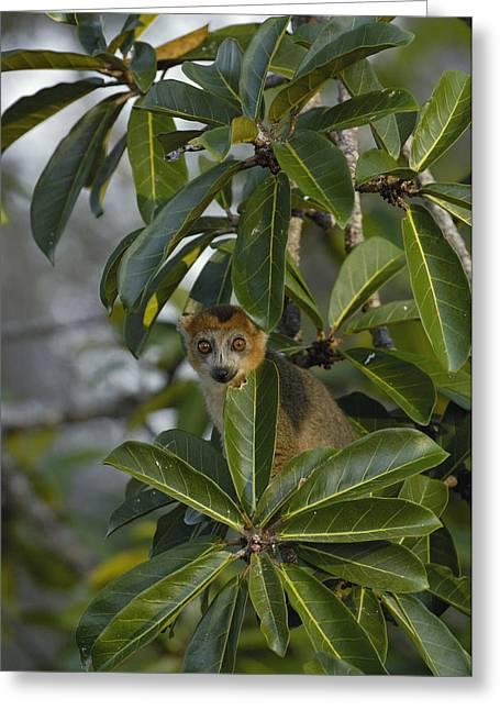 Lemur Sp Greeting Cards - Crowned Lemur Eulemur Coronatus Male Greeting Card by Pete Oxford