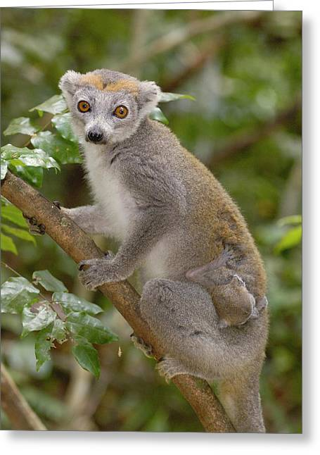 Crowned Lemur Eulemur Coronatus Mother Greeting Card by Pete Oxford