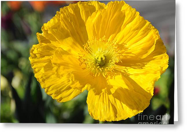 Crinkled Greeting Cards - Crumpled Yellow Poppy Flower Greeting Card by Gary Whitton