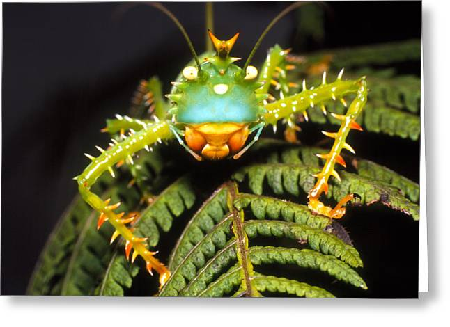Katydid Greeting Cards - Cryptic Katydid Insect On A Fern Leaf Greeting Card by Dr Morley Read