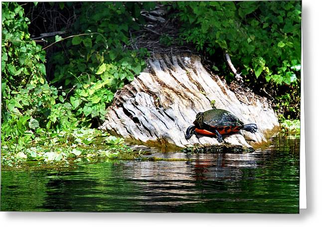 Wildlife Pictures Greeting Cards - Crystal River Sunbather Greeting Card by Skip Willits