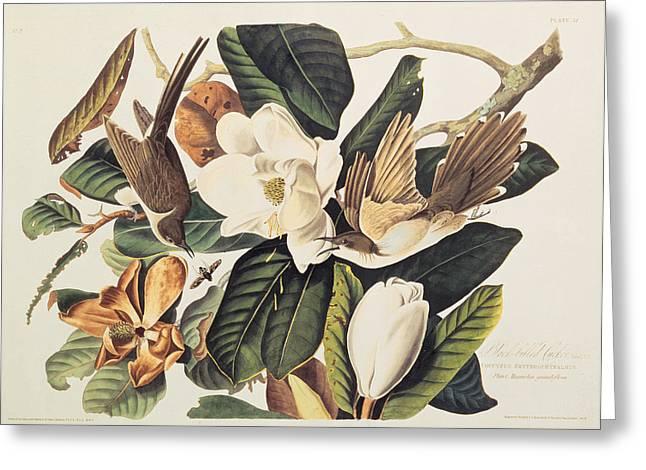Cuckoo on Magnolia Grandiflora Greeting Card by John James Audubon