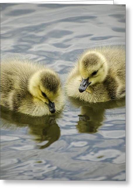 Water Fowl Greeting Cards - Curiosity Greeting Card by Heather Applegate