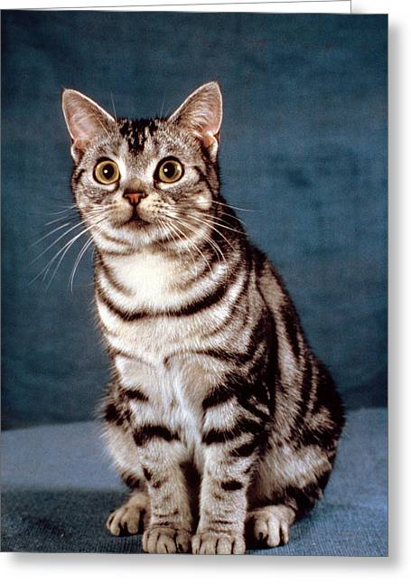 American Shorthair Greeting Cards - Curious American Shorthair Greeting Card by Larry Allan