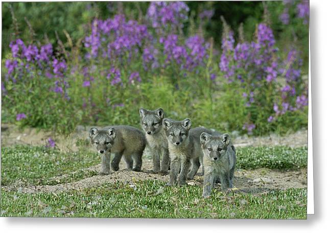 Wildflower Photograph Greeting Cards - Curious Arctic Fox Pups Alopex Lagopus Greeting Card by Norbert Rosing