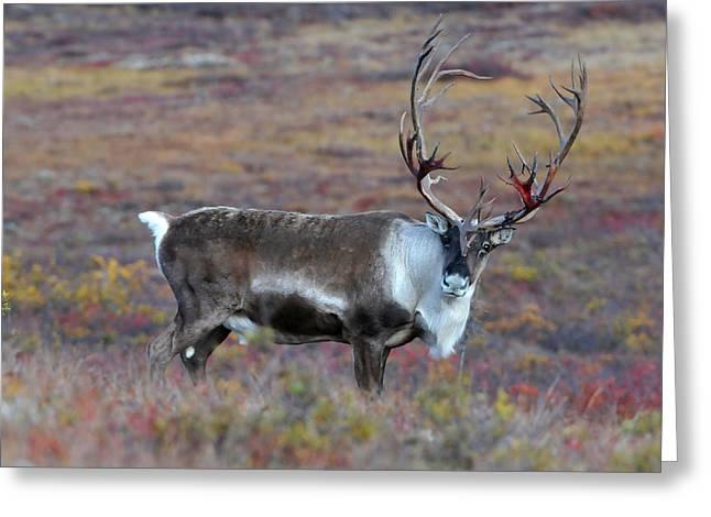 Caribou Greeting Cards - Curious Caribou Greeting Card by Alan Lenk