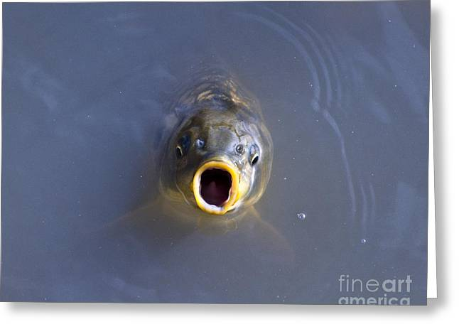 Al Powell Photography Usa Greeting Cards - Curious Carp Greeting Card by Al Powell Photography USA