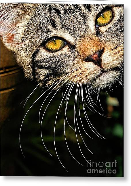 Whisker Greeting Cards - Curious Kitten Greeting Card by Meirion Matthias