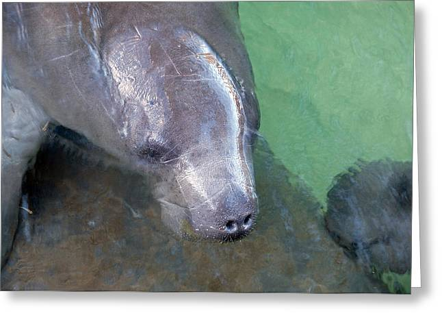 Manatee Springs Greeting Cards - Curious Manatee Greeting Card by Kenneth Albin