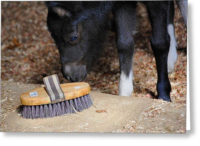 Curious Miniature Pony Greeting Card by Jai Johnson