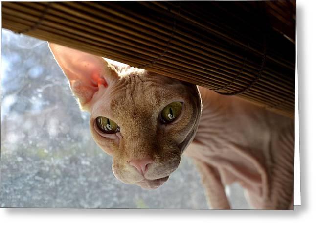 Sphynx Cat Greeting Cards - Curious Sphynx Greeting Card by Fraida Gutovich