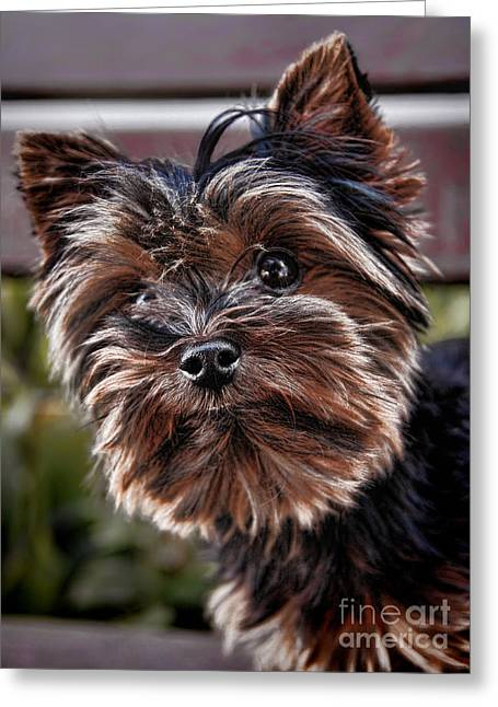 Curious Yorkshire Terrier Greeting Card by Mariola Bitner
