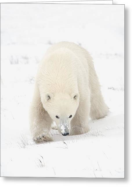 Dangerous In Winter Greeting Cards - Curious Young Polar Bear Ursus Greeting Card by Richard Wear
