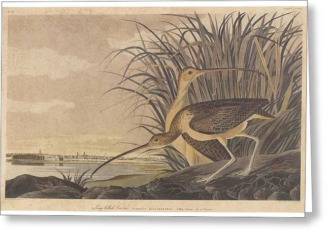 American Food Drawings Greeting Cards - Curlew Greeting Card by John James Audubon
