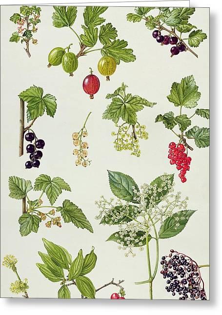 Black Berries Greeting Cards - Currants and Berries Greeting Card by Elizabeth Rice