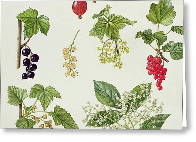 Currants and Berries Greeting Card by Elizabeth Rice