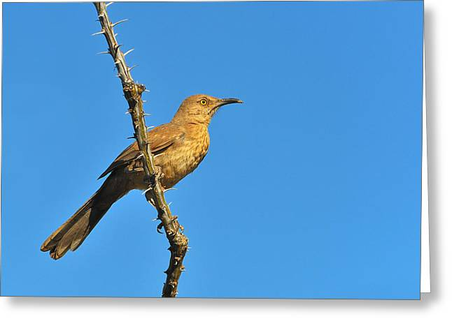 Birds. Thorns Greeting Cards - Curve-billed Thrasher Greeting Card by Tony Beck