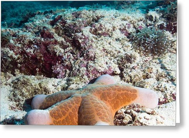 Cushion Star Starfish Greeting Card by Georgette Douwma