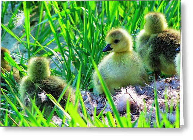 Water Fowl Greeting Cards - Cute and Fuzzy - Take 1 Greeting Card by Scott Hovind