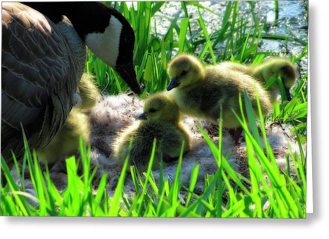 Water Fowl Greeting Cards - Cute and Fuzzy - Take 3 Greeting Card by Scott Hovind