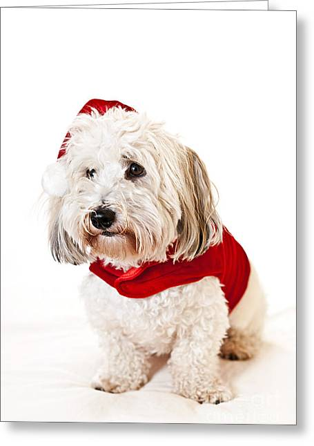 Doggie Greeting Cards - Cute dog in Santa outfit Greeting Card by Elena Elisseeva