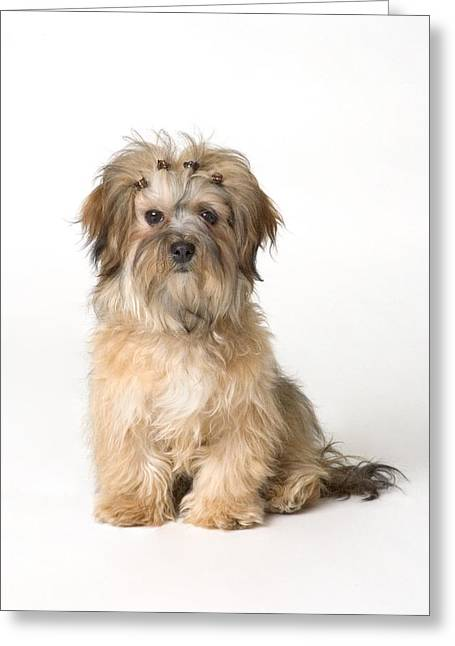 Cute Havanese Greeting Cards - Cute Miniature Terrier Greeting Card by Corey Hochachka