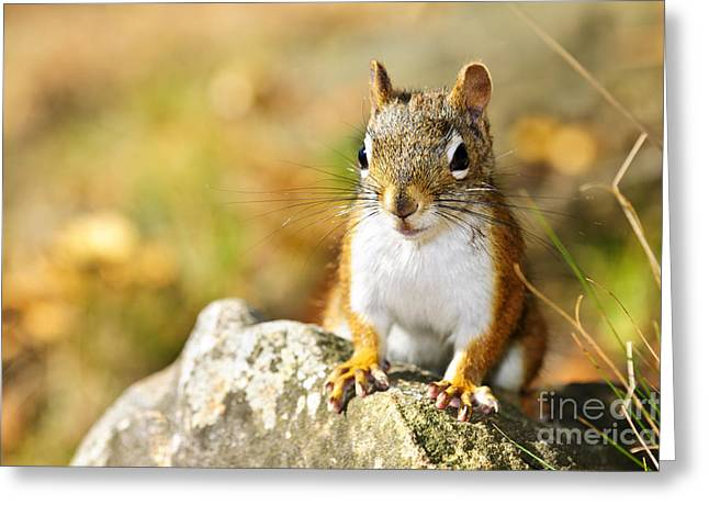 Squirrel Greeting Cards - Cute red squirrel closeup Greeting Card by Elena Elisseeva