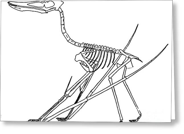 Pterosaur Greeting Cards - Cycnorhamphus Suevicus Greeting Card by Science Source