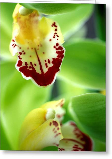 Orchid Canvas Greeting Cards - Cymbidium Seafoam Emerald Orchid Greeting Card by Kathy Yates
