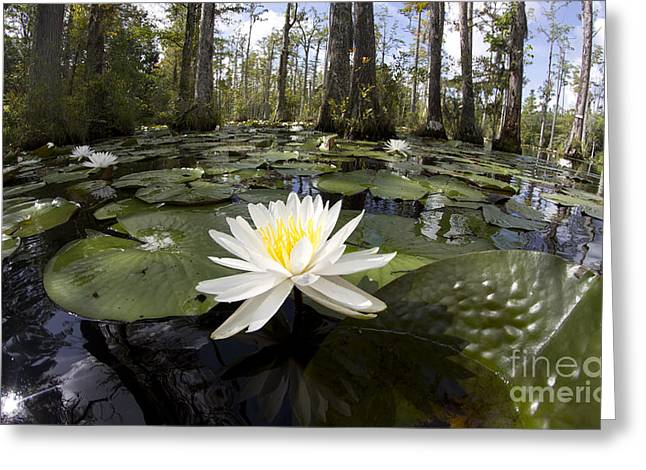 Cypress Greeting Cards - Cypress Gardens Lily pad Flowers Greeting Card by Dustin K Ryan