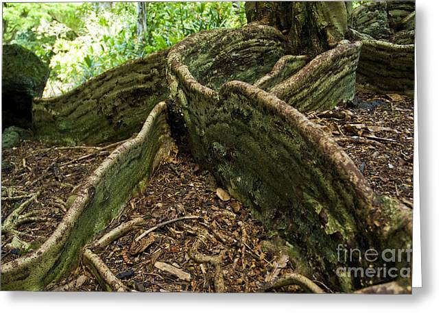 Tree Roots Photographs Greeting Cards - Cypress tree on Hawaii Greeting Card by Micah May