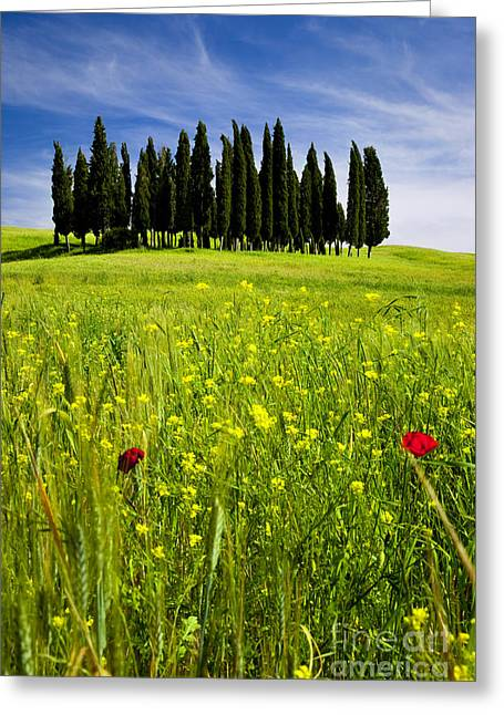 Tuscan Hills Greeting Cards - Cypress Trees Greeting Card by Brian Jannsen