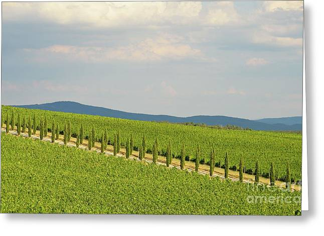 Chianti Greeting Cards - Cypresses alley in vineyards in Chianti region Greeting Card by Sami Sarkis