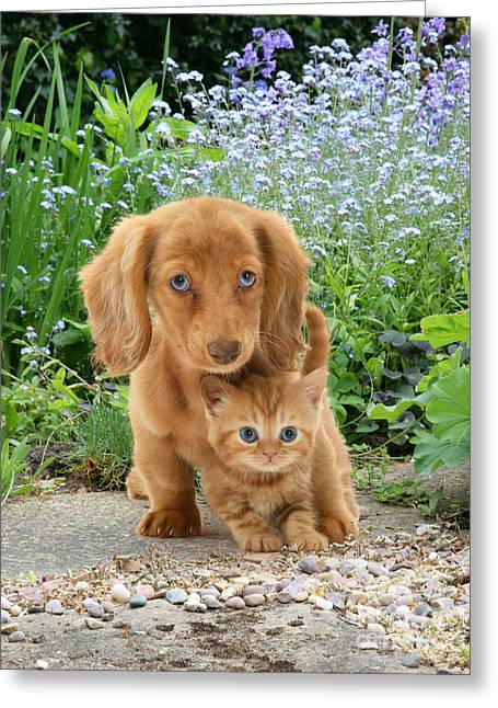 Dachshund And Tabby Greeting Card by Jane Burton